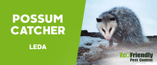 Possum Catcher Leda