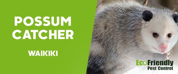 Possum Catcher Waikiki